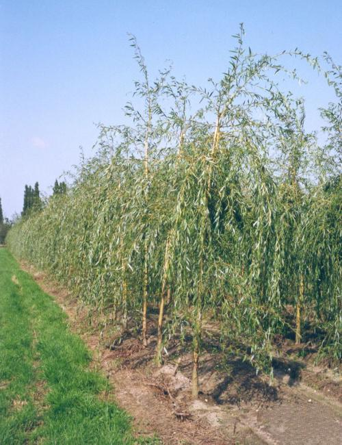 Ива желтая (Salix)