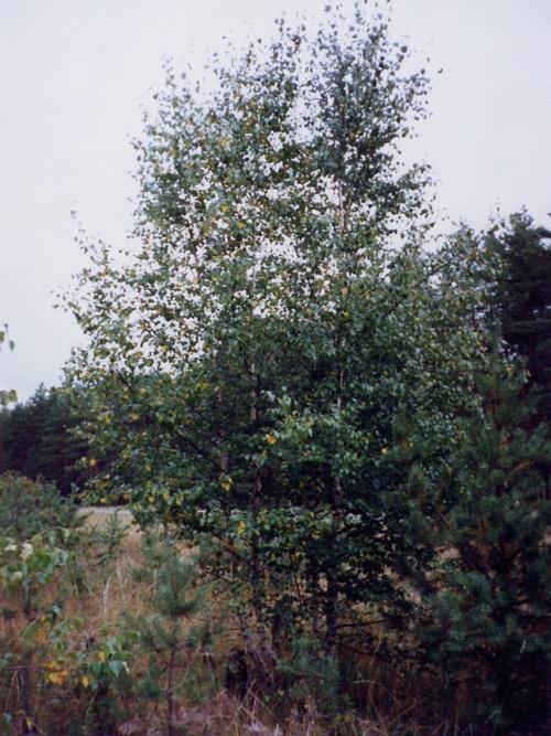 Береза бородавчатая (Betula pendula)