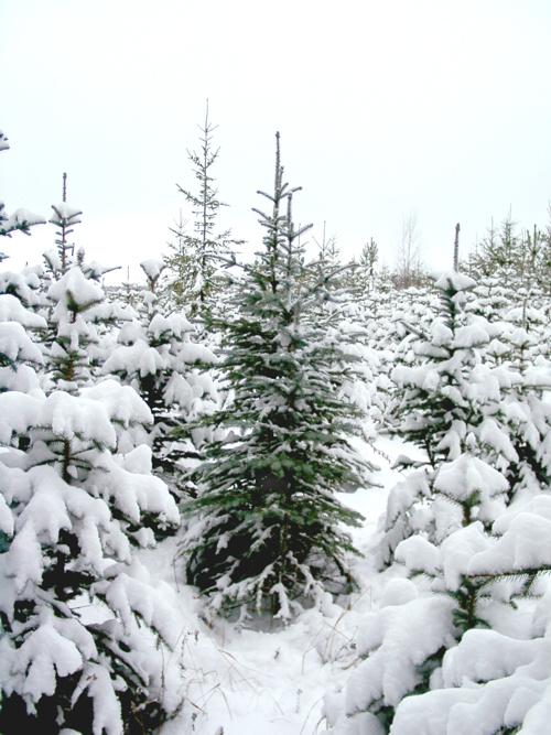 Ель канадская (Picea canadensis)