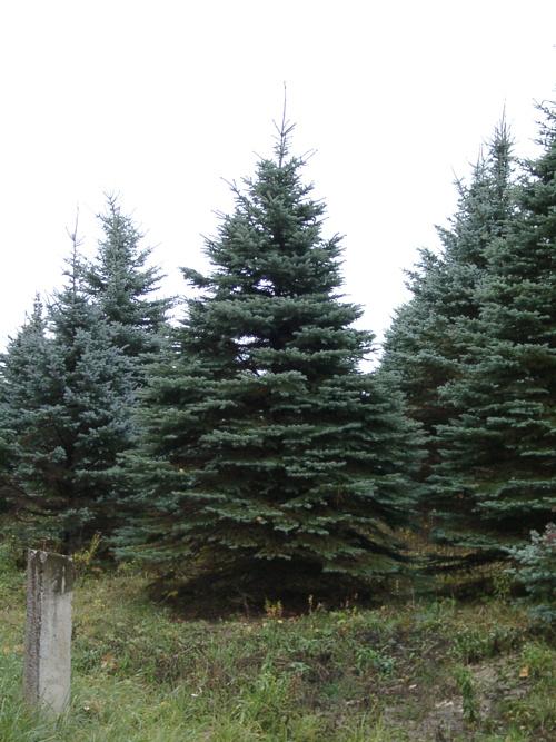 Ель голубая (Picea pungens Engelm)