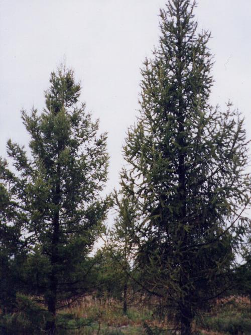 Лиственница (Larix decidua)