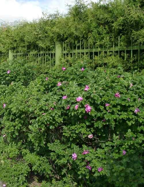 Роза ругоза (Rosa Rugosa)