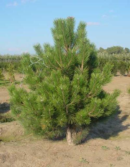 По данным А. Я. Орлова (1962), рост корней сосны прекращается, если...