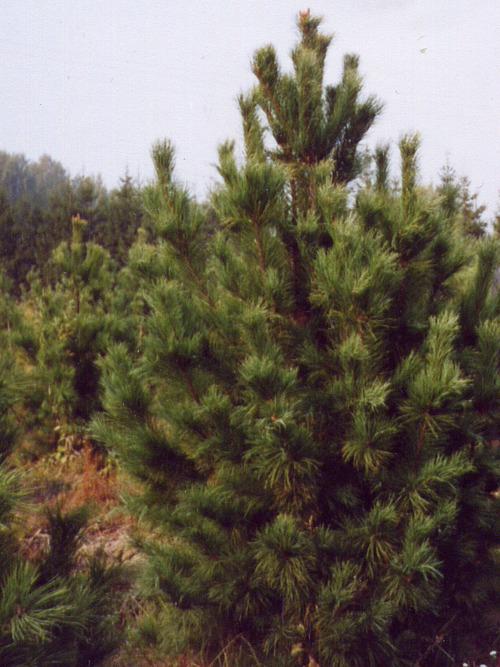 Сосна кедровая сибирская (Кедр сибирский) (Pinus sibirica)